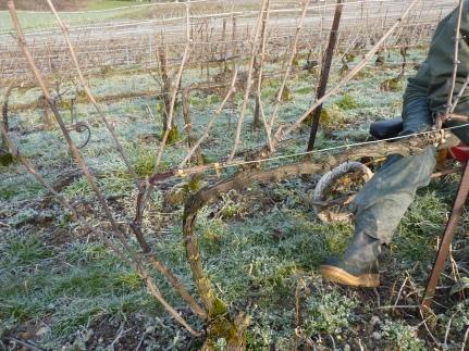 Pied de vigne non taillé