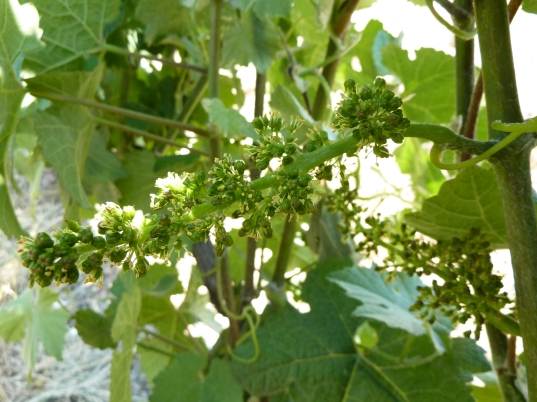 Floraison de la vigne en juin.