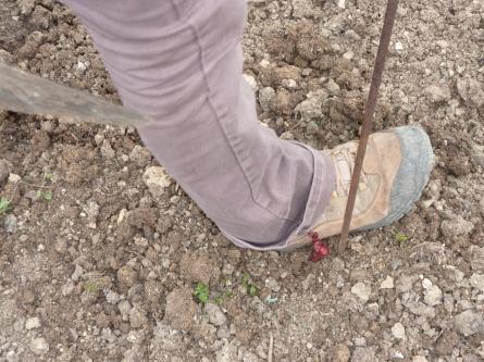 Tassement de la terre autour du plant avec le pied.
