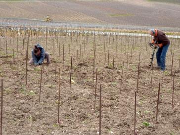 Plantation d'une nouvelle vigne.